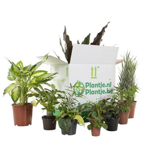 Groene Kneusjes box met 12 planten voor €23,95